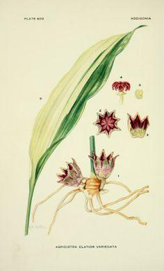 v.18 (1933-1934) - Addisonia : - Biodiversity Heritage Library