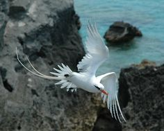 Bermuda Longtail ... One of the most graceful birds...So beautiful!