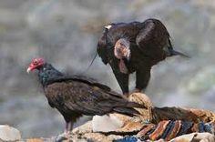 California Condor Gymnogyps californianus - Google Search
