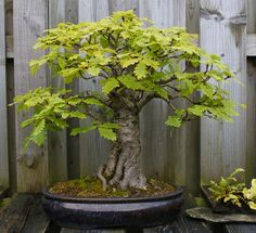 Bonsai Oak Tree. Symbolizes strength, stability, and nobility in Celtic tree folklore.