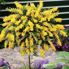 Standard Cytisus Yellow - 1 tree buy online order now Trees And Shrubs, Flowering Trees, Trees To Plant, Bonsai Garden, Succulents Garden, Planting Flowers, Small Trees For Garden, Garden Trees, Bulb Flowers