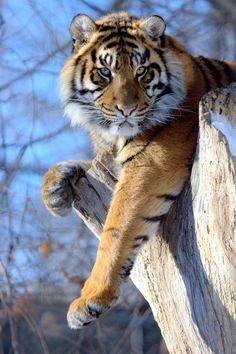 Tiger auf Baumstumpf