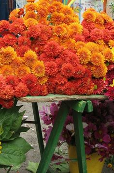 Brightly colored hardy mums can make any landscape instantly autumn. #fall #decorating