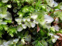 Rhizomnium punctatum - dorůstá výšky až 6 cm.