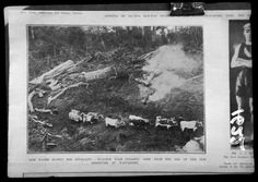 Bullock team clearing logs from the floor of the water supply reservoir area which is now the Waitakere Dam. 1903