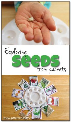 Exploring seeds from packets A simple observation activity for preschoolers to learn about seeds Gift of Curiosity Spring Activities, Preschool Activities, Preschool Curriculum, Curriculum Planning, Montessori Preschool, Homeschooling, Preschool Garden, Plant Science, Kindergarten Science
