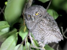 A fledgling Western Screech-Owl perched on a branch at night in Eastern Washington ** Note: Shallow depth of field Poster. Western Screech Owl, Bird, Animals, Animales, Animaux, Birds, Animal, Animais