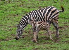 Parque de la Naturaleza de Cabárceno  | Cantabria | Spain Especie Animal, Zebras, Parks, Naturaleza, Animales, Dapple Grey Horses