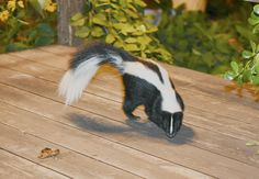 How to Get Rid of a Skunk - Pests on Your Patio