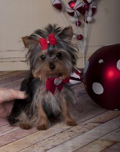 Teacup Yorkie Princess SOLD! Found a Loving Family!