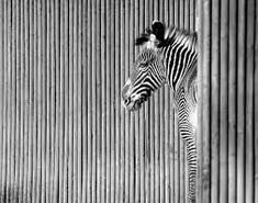 LINE and HARMONY  The vertical lines of the background and foreground create HARMONY with the zebra in the middle ground of the picture by creating emphasis of the seperate aspects that are related.