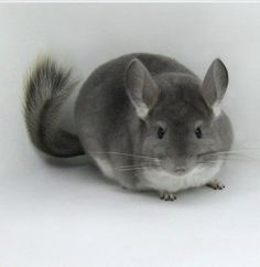 I use to have a chinchilla that looked just like this! Her name was Princess Pear :) I think it's really cool how they take baths by rolling around in volcano dust and how soft they are; they have 60 hairs in each hair follicle! Animals And Pets, Baby Animals, Cute Animals, Chinchilla Care, Flying Squirrel, Woodland Creatures, Zebras, Exotic Pets, My Animal