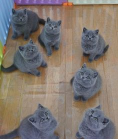 Discover The Russian Blue Cats - Cat's Nine Lives Cute Cats And Kittens, I Love Cats, Kittens Cutest, Kitty Cats, Kittens Meowing, Funny Kittens, Blue Cats, Grey Cats, Grey Kitten