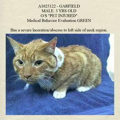 TO BE DESTROYED 1/14/15 *NYC* FRIENDLY KITTY MUST SEE VET!!! * Manhattan Center * Garfield head-butts the assessor's hand, purrs, rolls over, and appreciates petting on the head and body. Animal has a severe laceration/abscess to L side of neck region. Came into facility with bandages covering region. * My name is GARFIELD. My Animal ID # is A1025122. I am a male org tabby and white domestic sh mix. I am about 3 YEARS old. I came in on 01/10/2015 from NY 10304, PETINJURED.