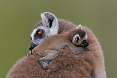 Ring-tailed lemur (Lemur catta), Khao Kheow Open Zoo, Thailand by Ashley Vincent on 500px