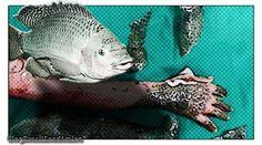 Pele de tilápia como enxertia para queimaduras é usada no Ceará  Universidade Federal do Ceará usa um dos peixes mais produzidos e consumidos no Brasil como parte do tratamento de queimados em hospital.  Pesquisa liderada pelo cirurgião plástico Edmar Maciel presidente do Instituto de Apoio ao Queimado (IAQ) é inédita no mundo. Pele de tilápia substitui pomadas e curativos ajudando na cicatrização das áreas queimadas evitando infecções e desidratação. A pele da tilápia ajuda no processo de…