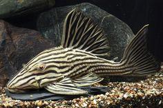 Panaque cf. nigrolineatus Saltwater Aquarium Fish, Tropical Fish Aquarium, Tropical Freshwater Fish, Freshwater Aquarium Fish, Pleco Fish, Plecostomus, Xingu, Life Under The Sea, Paludarium
