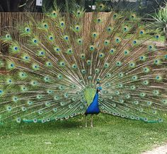 different peacock breeds