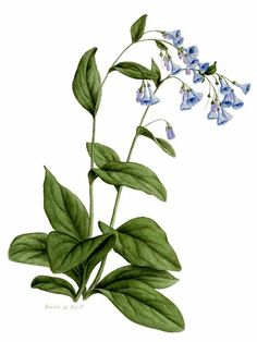 Image result for sketch Virginia bluebells