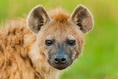 Bacteria Power Social Lives of Hyenas | National Geographic (blogs)