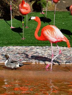 The duck who thinks he's a flamingo, except that his legs are about 2 feet too short.