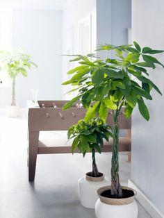 Tall Indoor Plants, Indoor Trees, Feng Shui, Repotting Succulents, Succulent Plants, Echeveria Care, Pachira Aquatica, Belle Plante, Decoration Plante