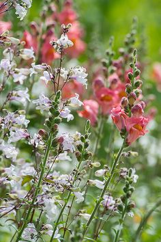 Summer, Penstemon Digitalis, Chicago Botanic Garden