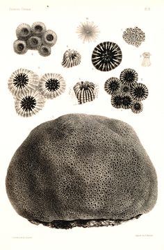 Types of coral expansion/budding/division Science Illustration, Botanical Illustration, Botanical Art, Ancient Fish, Inspiration Artistique, Ernst Haeckel, Patterns In Nature, Rocks And Minerals, Science And Nature