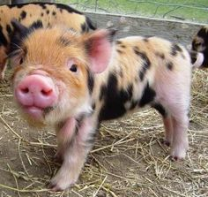 Kunekune pigs are so cool meet our favourite creatures