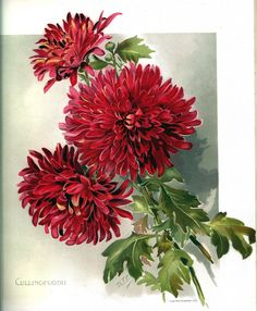 'Cullingford II'; 7th color floral plate from the book 'The Golden Flower Chrysanthemum'  Available for public view from my archives for a limited time.