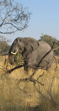 #neverhaveiever seen a truly wild African elephant. I want to put my Zoology degree to good use and help save these guys. @StudentUniverse