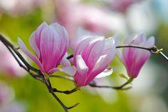 Magnolia | por shinichiro*@OSAKA
