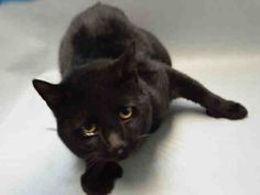 """CLARENCE - A1064485 - - Brooklyn Please Share: **TO BE DESTROYED 02/10/16** Stunning Clarence must be someone's lost pet, given how sleek he is. Cats who are living rough simply are not that glossy, and check out his special front paws, which are rocking """"2 supernumerary digits bilaterally."""" Clarence also has a heart murmur so the shelter thinks he should see a competent vet for follow-up. Naturally they plan to kill him tomorrow, so it's not lik"""