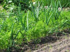 """Plantarea mixtă: alegem cei mai buni """"vecini"""" pentru plante - Fasingur Homestead Living, Companion Planting, Vegetable Garden, Homesteading, Nature Photography, Solar, Canning, Vegetables, Beautiful"""