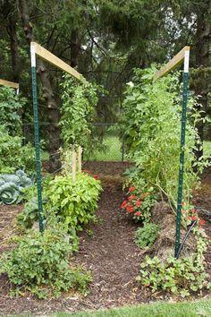 Cómo cultivar tomates en balas de paja. Un sistema que está ganando en popularidad, con el que se obtienen muy buenos rendimientos y con el que además ahorraremos agua de riego.