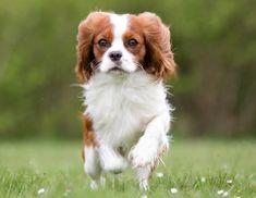 Doe de online puppytest en kom erachter welk hondenras bij jou past! Lees meer over hondenrassen zoals de Cavalier King Charles Spaniel op puppytest.nl