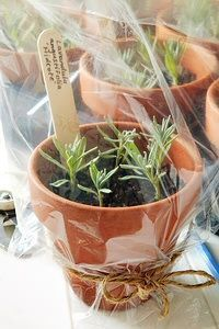Herbs and other perennials can be propagated by taking a cutting from the stem of an existing plant. Garden Planters, Herb Garden, Vegetable Garden, Herbs Indoors, Propagation, Cuttings, Garden Spaces, Permaculture, Garden Projects