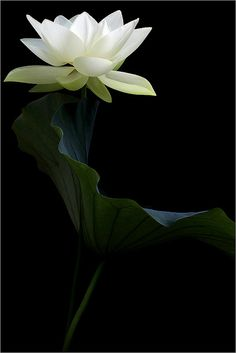 #White Lotus Flower and the Leaf - [Decor Ideas] DD0A5539-1000 by Bahman Farzad, via Flickr