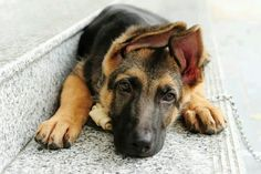 German Shepherd Dog Community