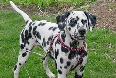 Image from https://dalmatiansdogbreed.files.wordpress.com/2011/12/2008080691906_mia050707025_w450.jpg.