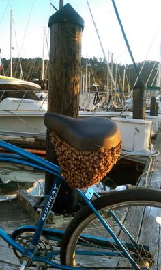 Swarm of honey bees takes temporary residence under a bicycle seat.
