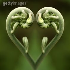 Fiddlehead heart from Getty Images