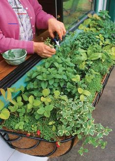 9 Herb Garden Ideas - How to Plant - Four Generations One Roof - #hangingherbgardens - Genius Herb Garden Ideas that anyone can do! How to plant an herb garden in a container, a window box, a full garden, a coffee cup or in a metal bucket.... Herb Garden Design, Diy Herb Garden, Backyard Vegetable Gardens, Herbs Garden, Small Indoor Herb Garden Ideas, Herb Plants, Indoor Herbs, Gardening Vegetables, Tomato Plants