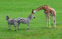 Giraffe leaning towards Zebras, Longleat Safari Park, Wiltshire, England by Pranav Bhatt, via Flickr