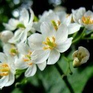 ※※A flower getting transparent if rain※※ 비를 맞으면 투명해지는 산하엽 꽃이랍니다. 산하엽 감상...