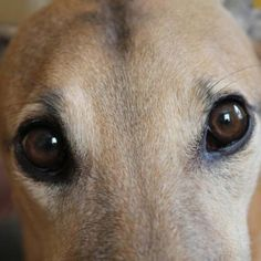 greyhound          beautiful eyes     photographer??