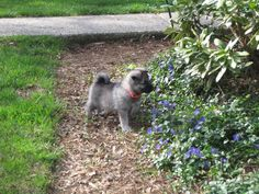 Melissa's Diary: Norwegian Elkhound Puppies
