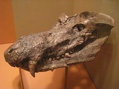 Fossil skull ofCynognathus crateronotus