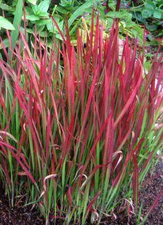 Carex \'Bronze Reflection\' | Flowerpower | Pinterest | Colors ...