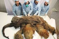 Ice Age Cave Lion Cubs and a Look Back at Permafrost Mummies A recent find in Siberia is the latest on a list of well-preserved Ice Age mammals